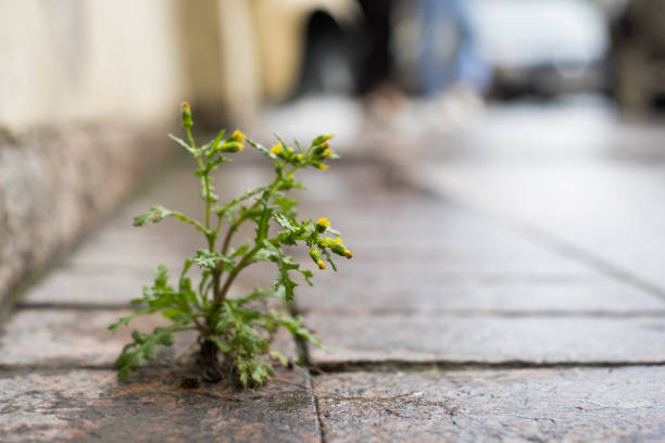The plant, the yellow dandelion grows through the crack in the concrete, asphalt road. stock photo