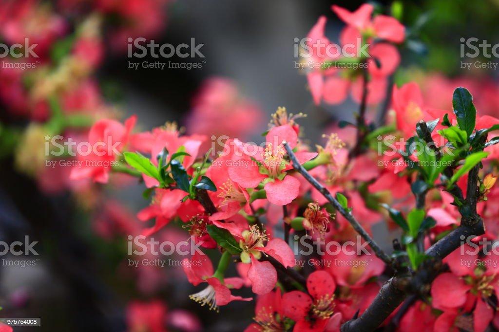 Die plum blossom - Lizenzfrei Baum Stock-Foto