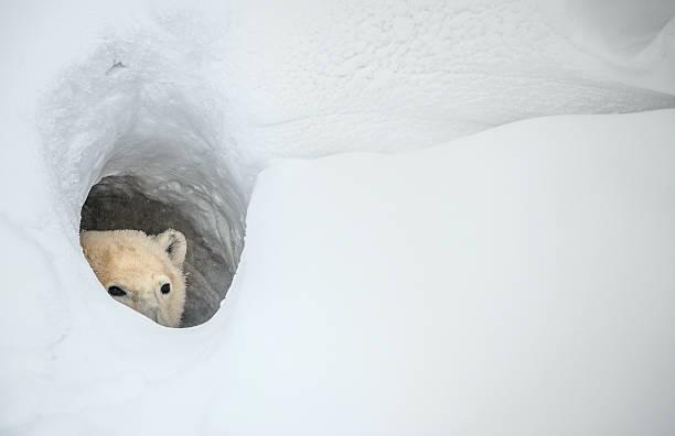 The polar bear stock photo