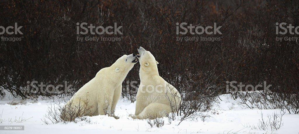 The Polar bears stock photo