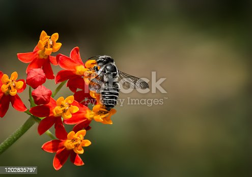 Leaf cutter Black and White striped bee pollinates Milkweed, Macro