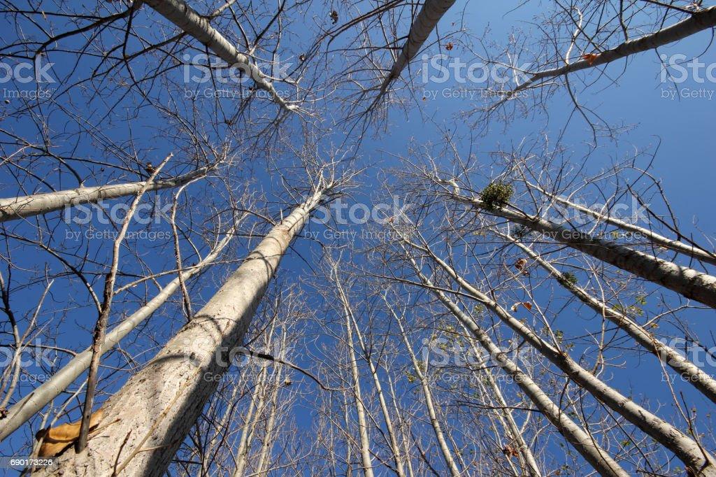 The poplar tree towards the blue sky stock photo