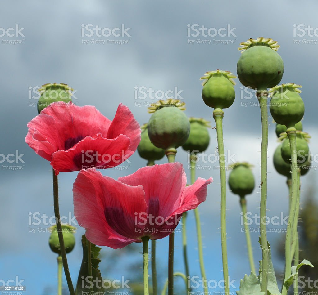 The Poppy Flowers On Stormy Sky Background Stock Photo More