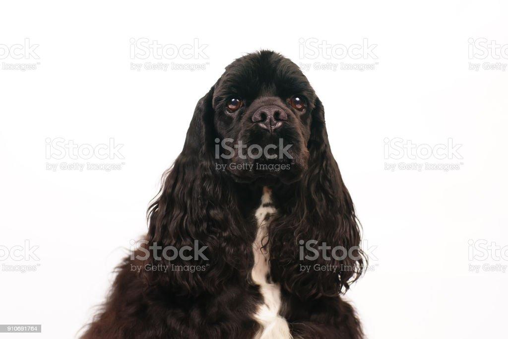 Das Portrat Ein Schwarzer American Cocker Spaniel Hund Drinnen