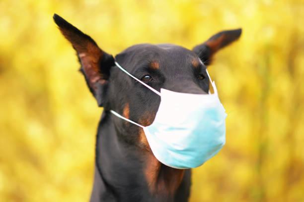 das porträt eines schwarzen und bräunlichen doberman-hundes mit abgeschnittenen ohren, die im frühjahr in gelb blühenden büschen im freien posieren und eine medizinische gesichtsmaske tragen. covid-19 thema - ffp2 stock-fotos und bilder