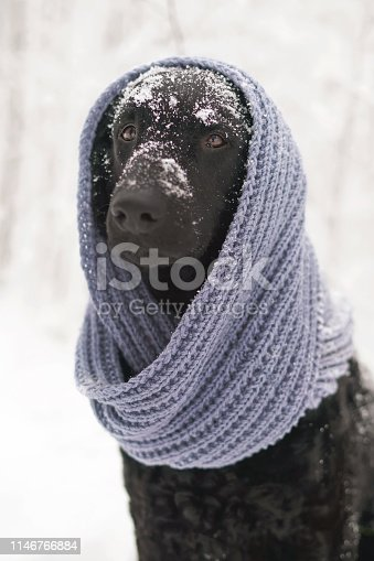 The portrait of a black curly coated Retriever dog posing outdoors in winter wearing a blue knitted scarf on is head