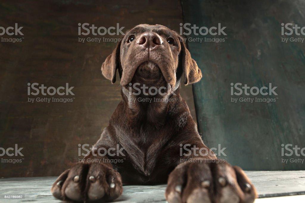 El retrato de un perro Labrador negro contra un fondo oscuro - foto de stock