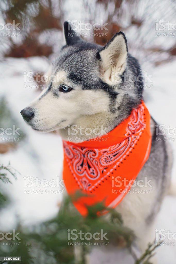 The Portrait Of A Grey Siberian Husky Dog Wearing An Orange Bandana