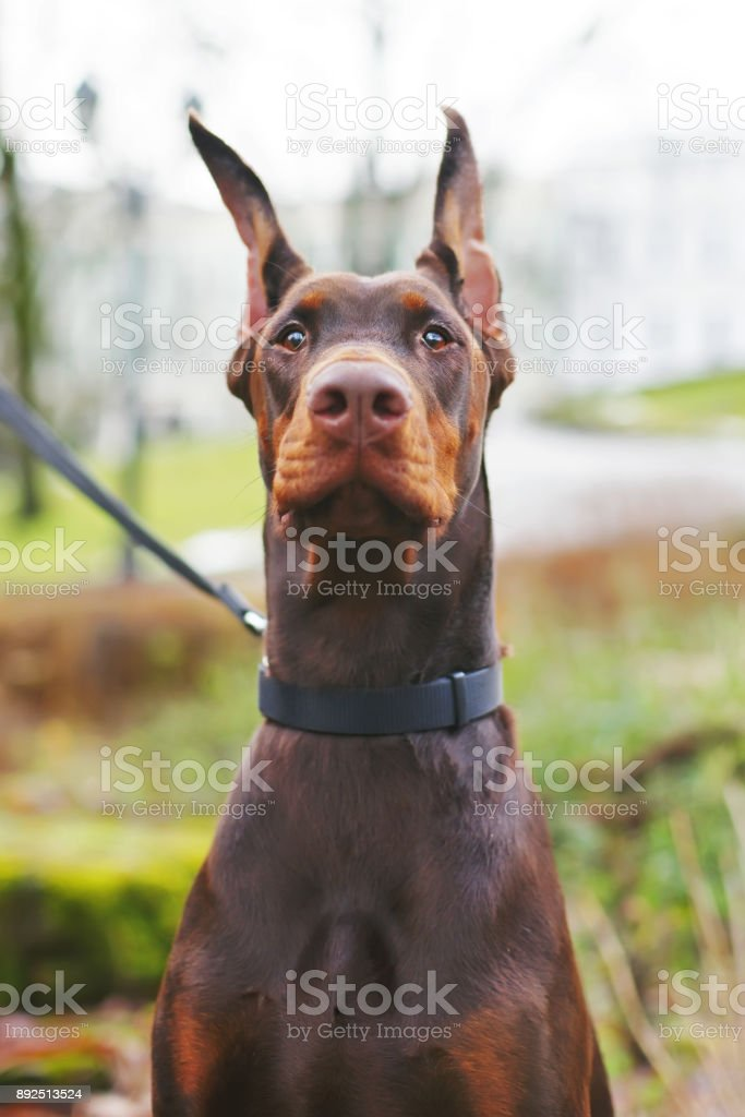 The Portrait Of A Serious Brown Doberman Dog With Cropped Ears
