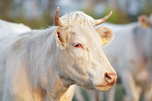 The portrait of a white Charolais cow with horns and pierced ears posing outdoors on sunset