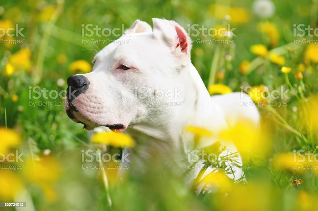 The portrait of a young Dogo Argentino dog with cropped ears lying in dandelions stock photo