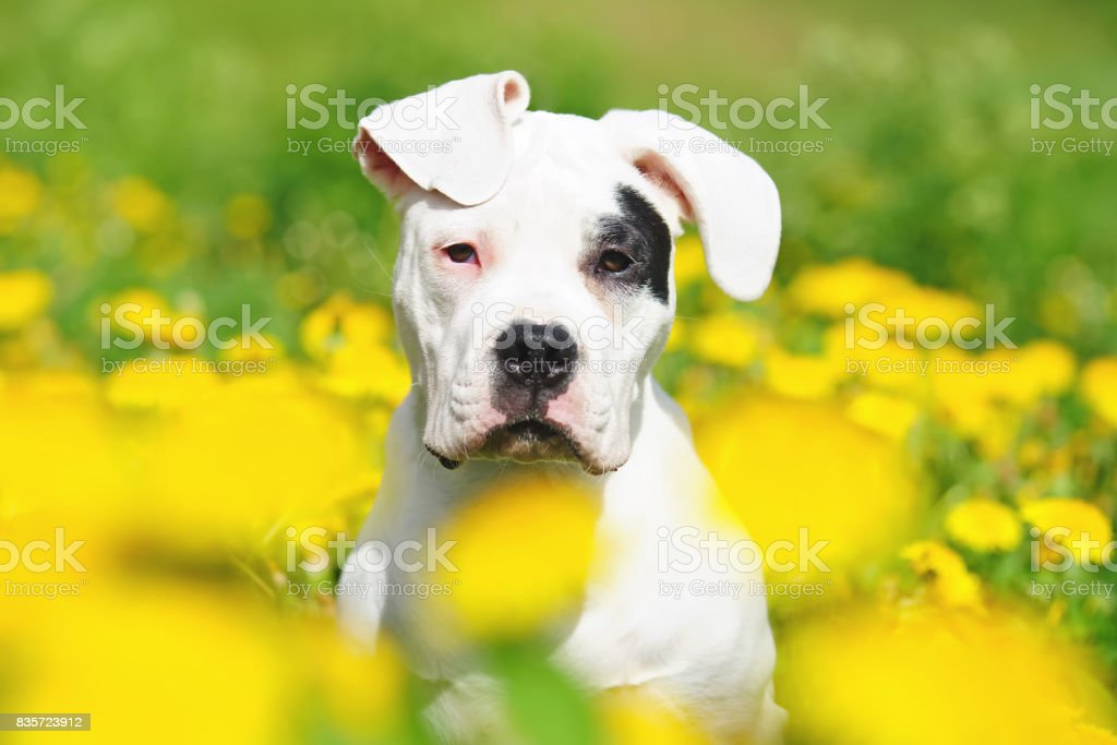 The portrait of a young Dogo Argentino dog with natural ears in dandelions stock photo