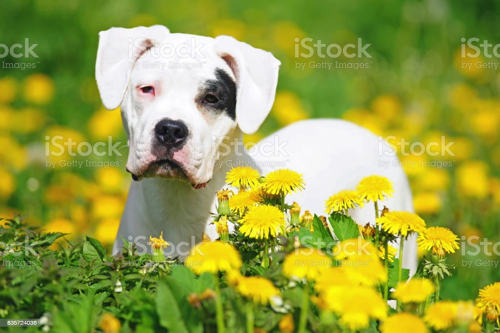 The portrait of a young Dogo Argentino dog with natural ears standing in dandelions stock photo