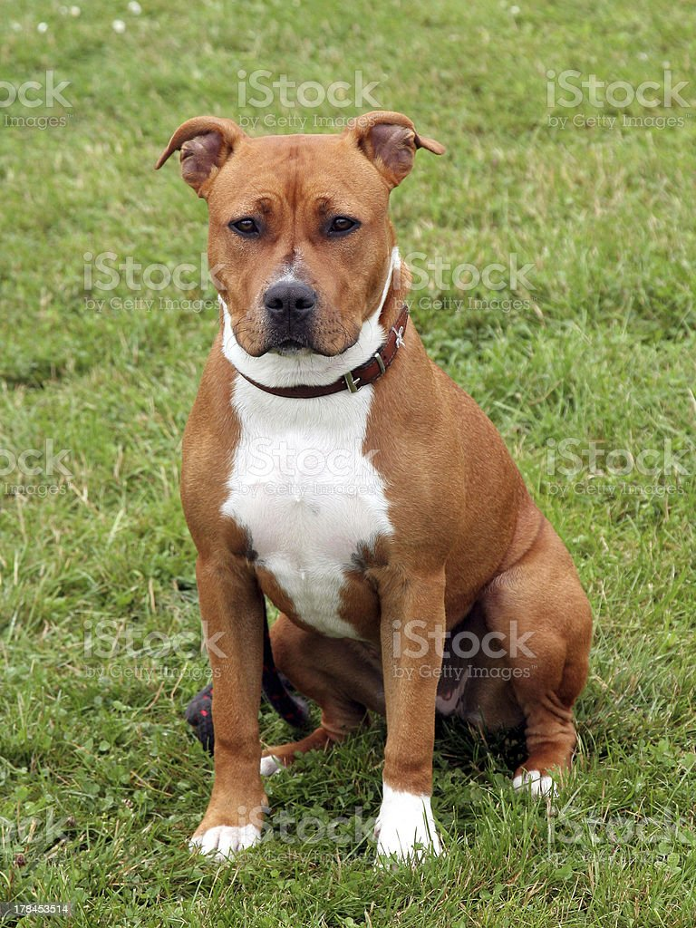 The portrait of American Staffordshire Terrier stock photo