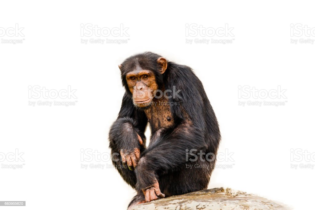 Le portrait de chimpanzé noir isolat sur fond blanc. - Photo
