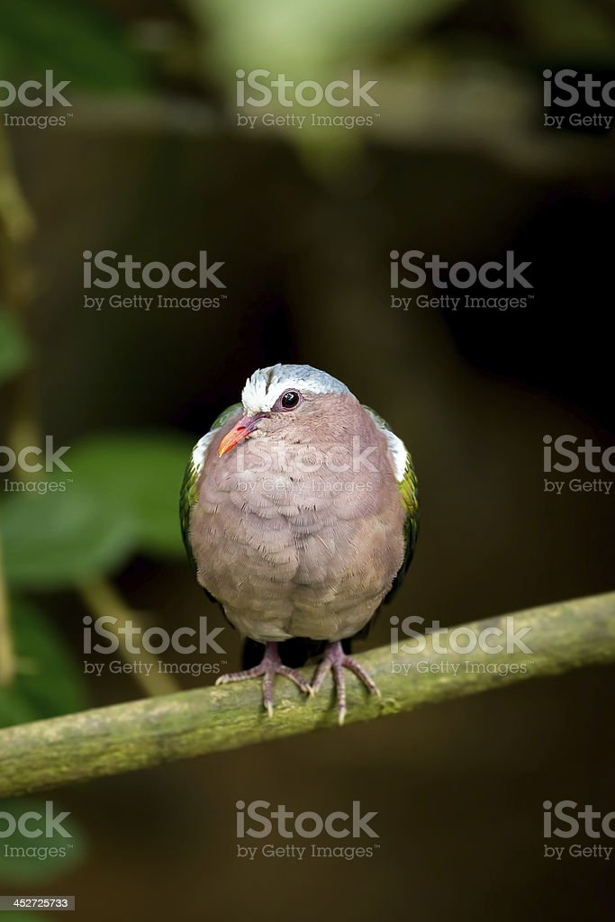 The portrait of Emerald dove bird royalty-free stock photo