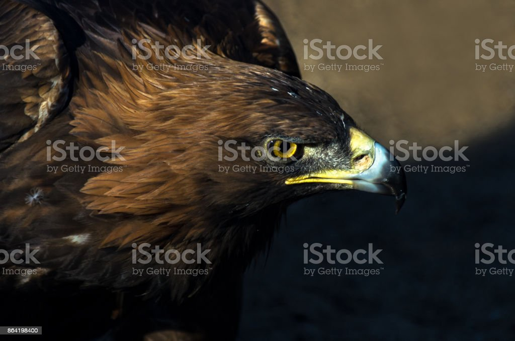 The portrait of golden eagle (Aquila chrysaetos) at sunset royalty-free stock photo