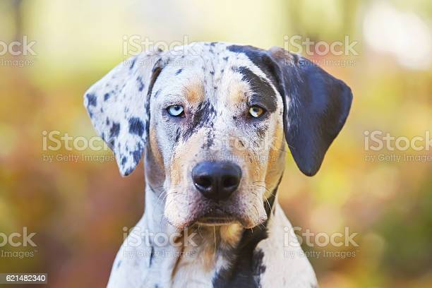Free catahoula leopard dog Images, Pictures, and Royalty-Free Stock