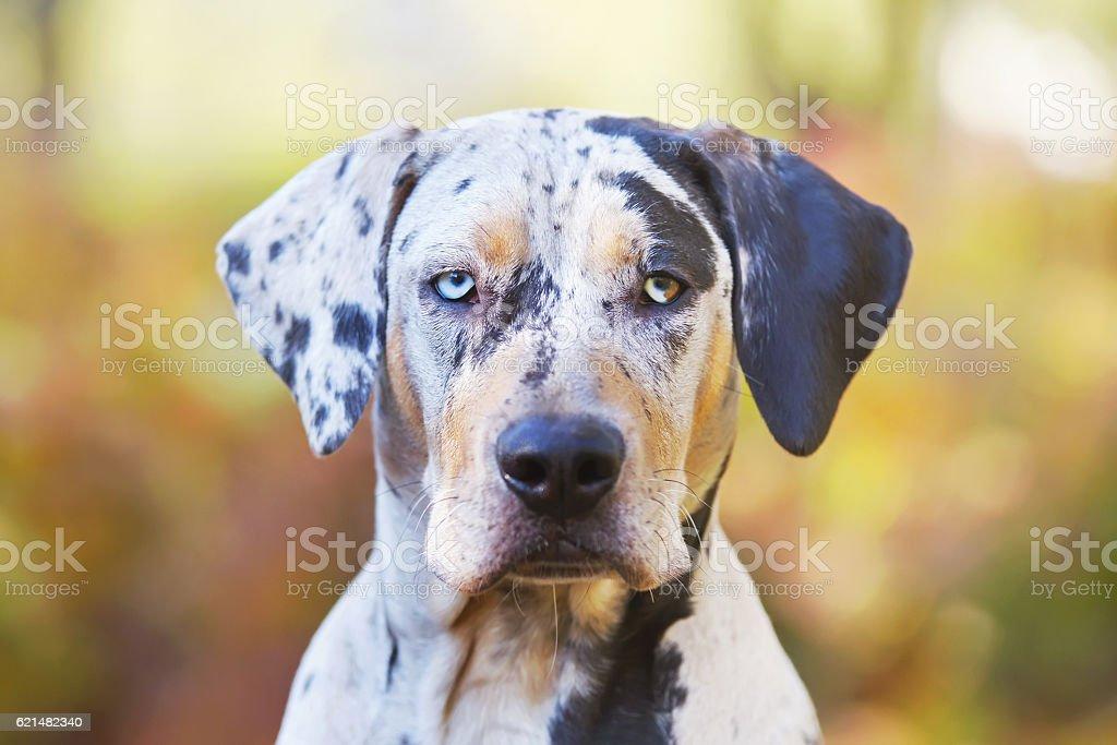 The portrait of Louisiana Catahoula Leopard dog at autumn background stock photo