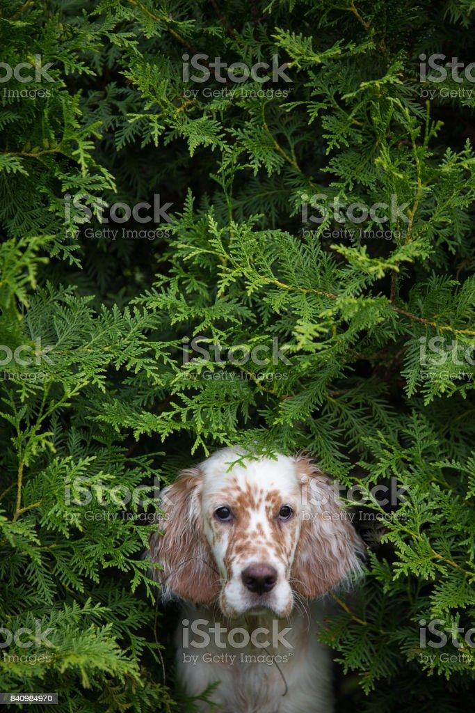 The portrait of puppy inside the bush stock photo