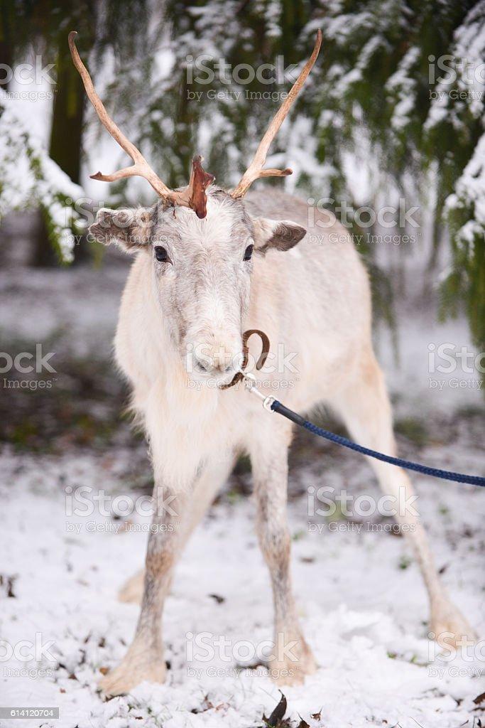 The portrait of reindeer stock photo