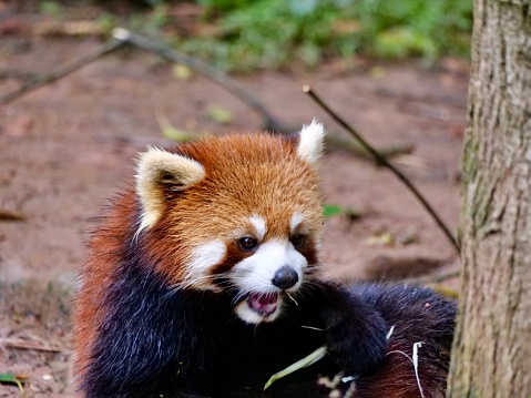 The red panda is a mammal species native to the eastern Himalayas and southwestern China. It is listed as Endangered on the IUCN Red List.
