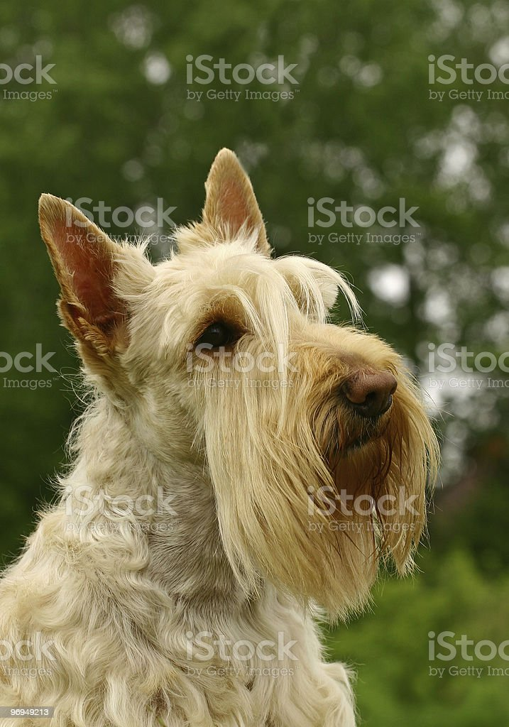 The portrate of Scottish Terrier royalty-free stock photo
