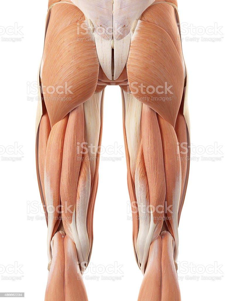 Fotografía de Los Músculos De Las Piernas Posterior y más banco de ...
