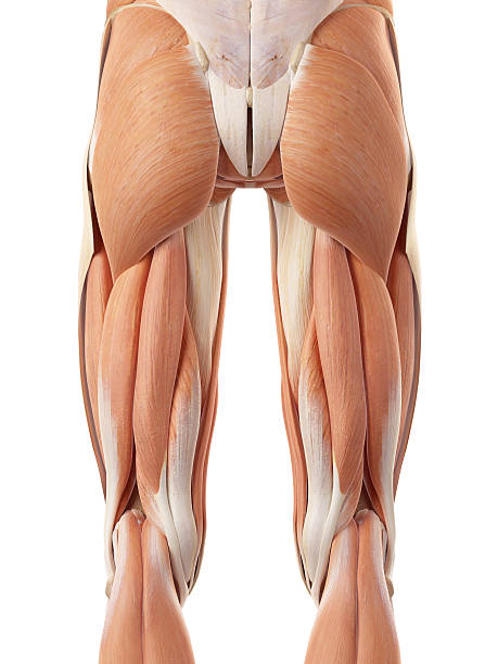 Royalty Free Upper Legs Muscles Anatomy Pictures, Images and Stock ...