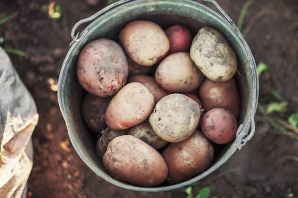 The Potato harvest. stock photo