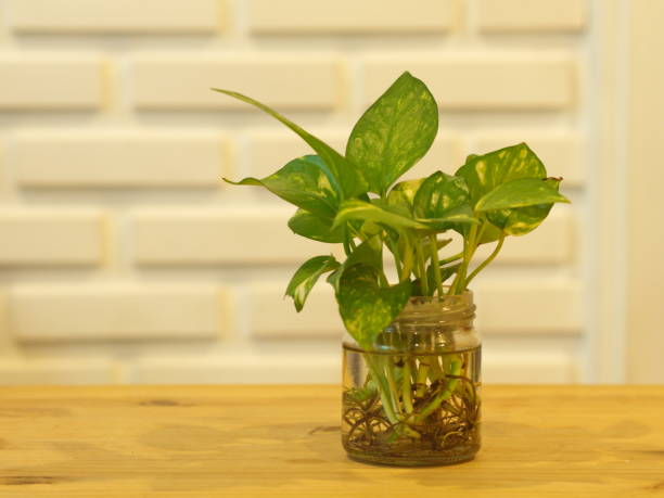 The Pothos with a Natural Light in the Morning Summer Day with White Brick wall background. The Pothos with a Natural Light in the Morning Summer Day with White Brick wall background epipremnum aureum water stock pictures, royalty-free photos & images