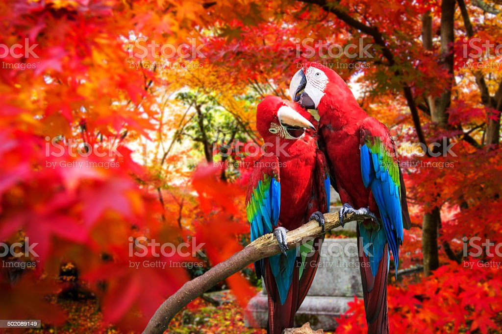 The potrait of Blue & Gold Macaw stock photo