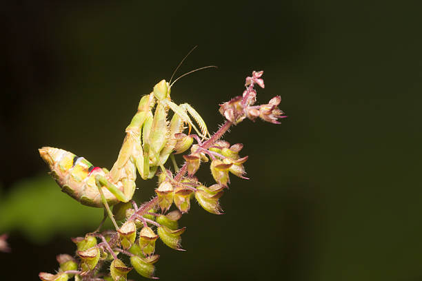 the praying mantis a predatory insect, fearsome with its raptori - schnell und effektiv abnehmen stock-fotos und bilder