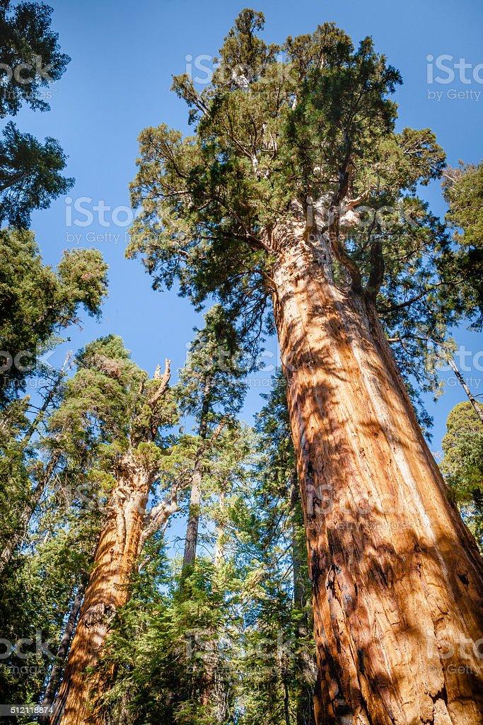 The President Tree, Sequoia National Park royalty-free stock photo