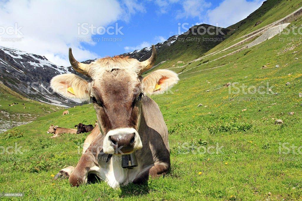 Die hübsche Kuh – Foto