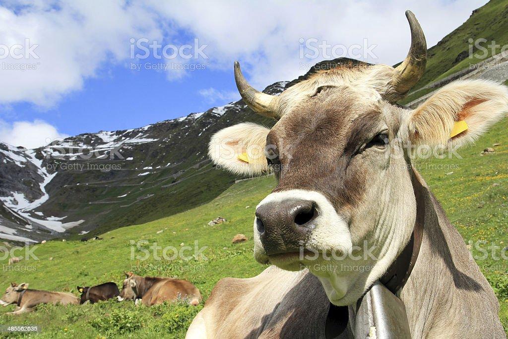 the pretty cow stock photo