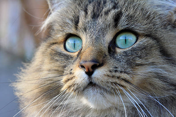 The pretty norwegian cat picture id457854299?b=1&k=6&m=457854299&s=612x612&w=0&h=whz4keaoxo3 yhlhzn w gobl3zchf0idblqlflqoiy=