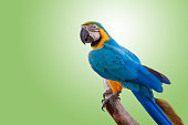 The parrot perched on a branch on green background with clipping path.