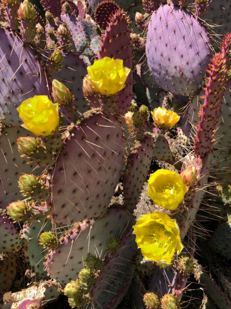 Prickly Pear Cactus in Bloom stock photo