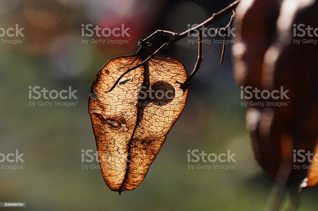 Seed inside a Chinese lantern Indian Rain Tree stock photo