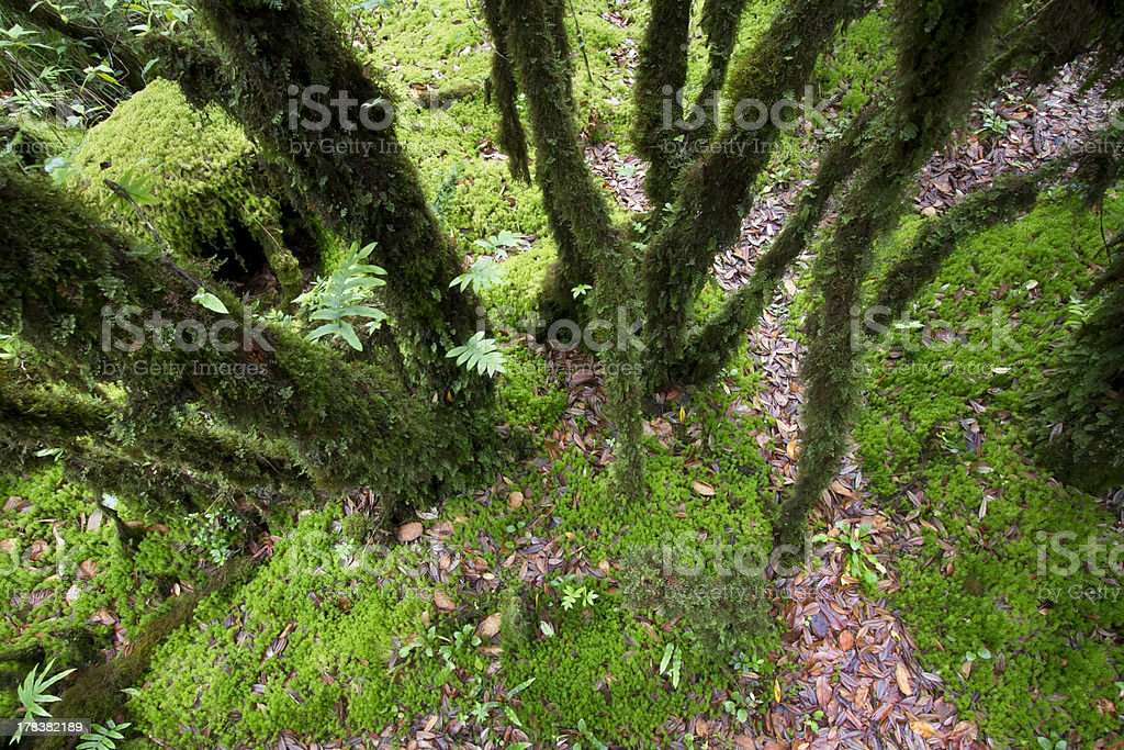 The primeval forest with mossed ground royalty-free stock photo