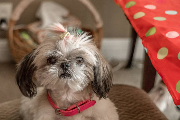 The Princess Shih Tzu Dog stock photo