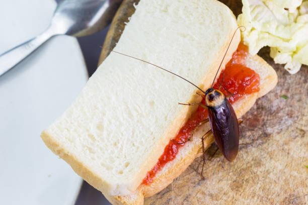 problemet i huset på grund av kackerlackor i köket. kackerlacka äter fullkornsbröd på vit bakgrund (isolerade bakgrund). kackerlackor är bärare av sjukdomen. - coffe with death bildbanksfoton och bilder