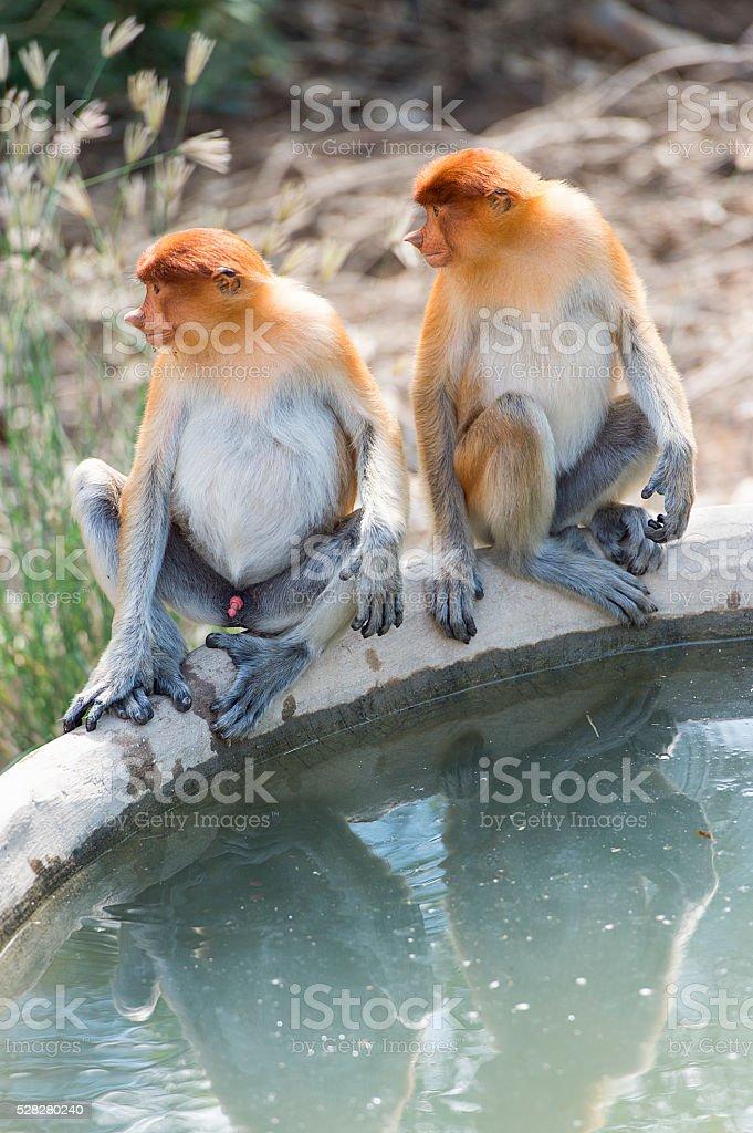 The proboscis monkey, Nasalis Larvatus or long-nosed monkey stock photo