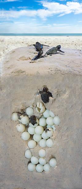 the process of hatching turtles. installation - leatherback stockfoto's en -beelden
