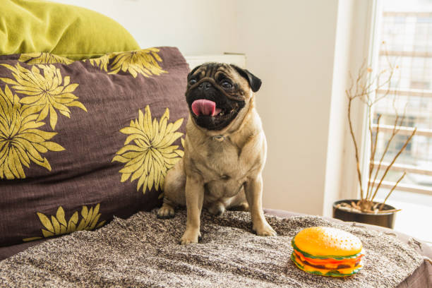 The pug on bed stock photo