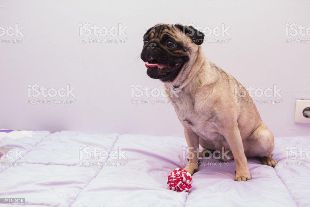 The pug stock photo