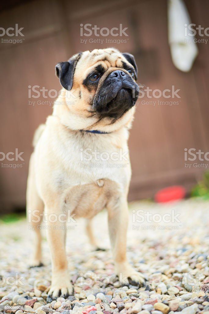 The pug puppy closeup stock photo
