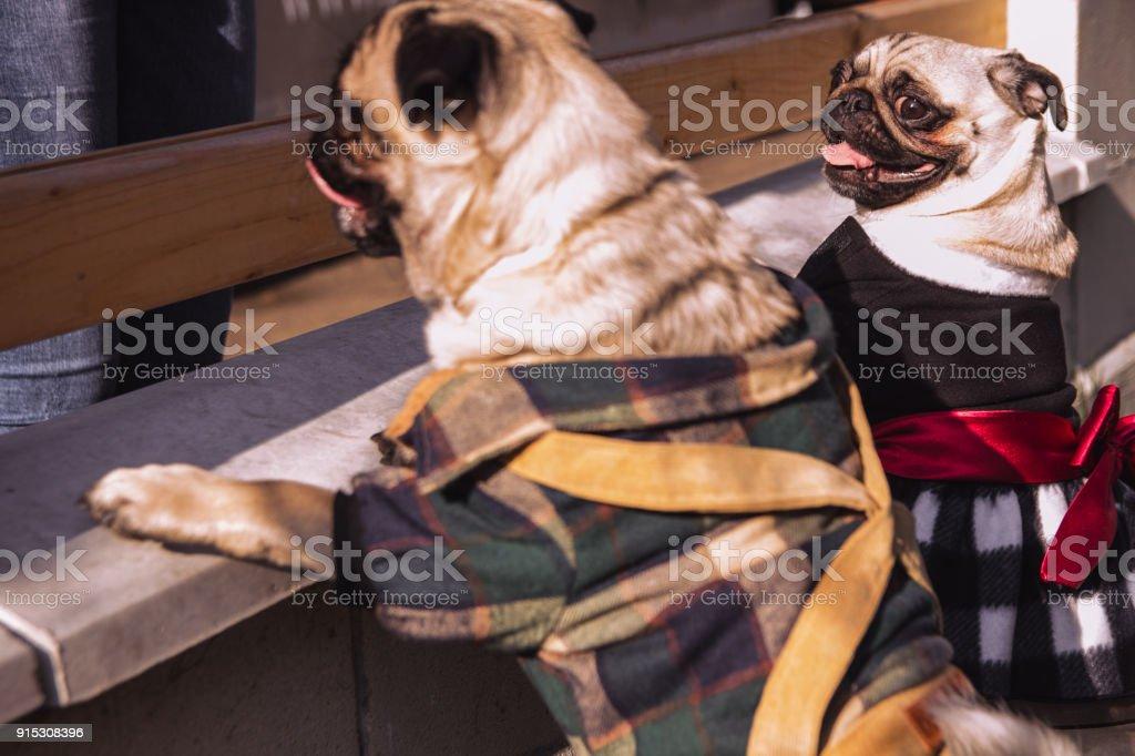 The pugs stock photo