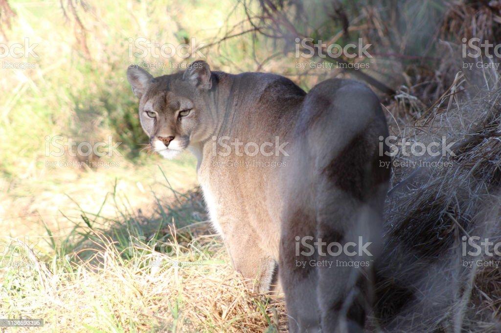 The Puma stock photo